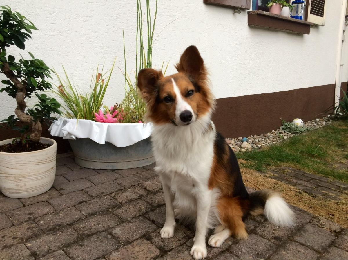 Hund allein zu Hause – Kaya – Border Corgi
