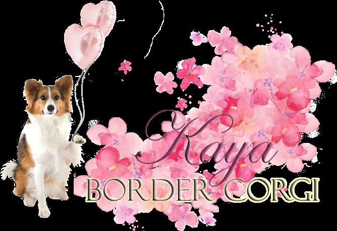 Kaya – Border Corgi